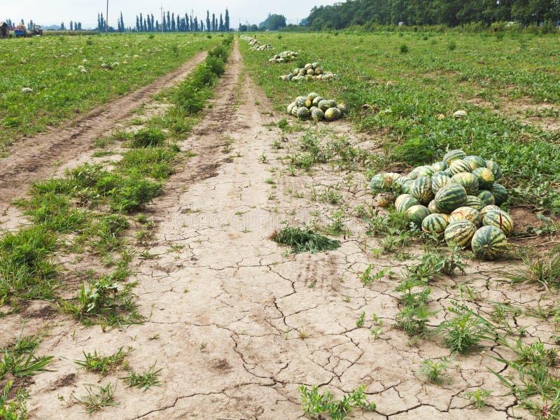 Meloengebied met hopen van rijpe watermeloenen stock afbeelding