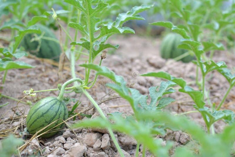 Meloengebied met hopen van rijpe watermeloenen royalty-vrije stock fotografie