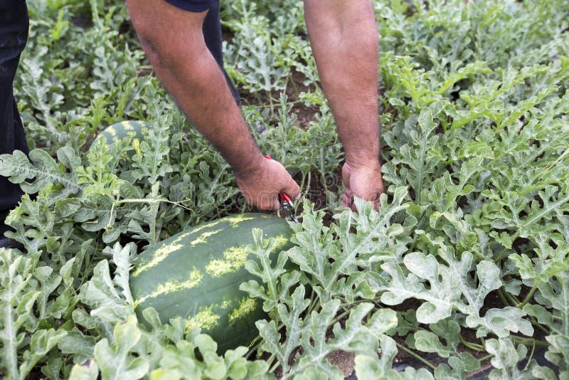 Meloengebied met hopen van rijpe watermeloenen in de zomer royalty-vrije stock foto's