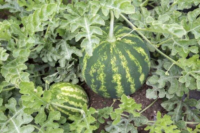 Meloengebied met hopen van rijpe watermeloenen in de zomer royalty-vrije stock foto