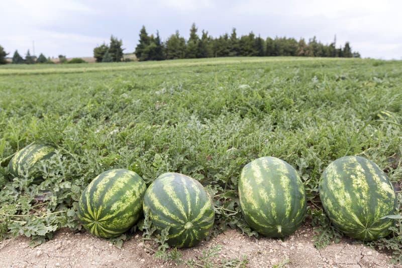 Meloengebied met hopen van rijpe watermeloenen in de zomer stock fotografie