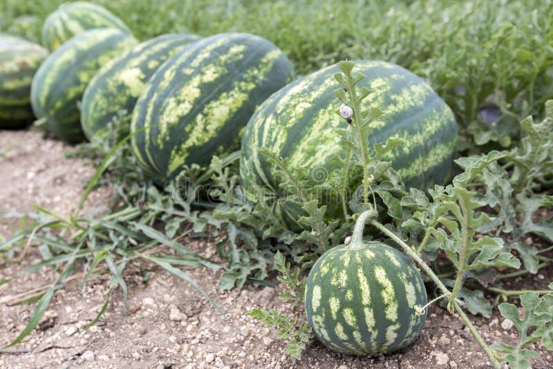 Meloengebied met hopen van rijpe watermeloenen in de zomer royalty-vrije stock fotografie