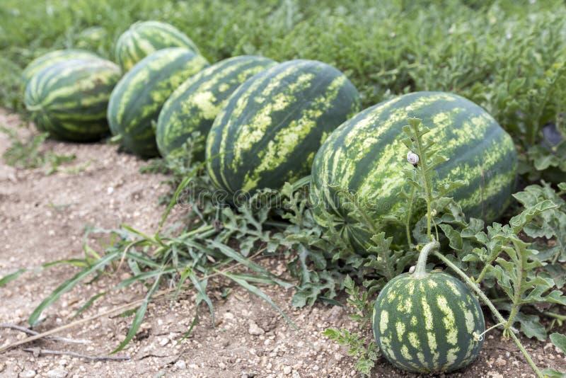 Meloengebied met hopen van rijpe watermeloenen in de zomer stock foto's