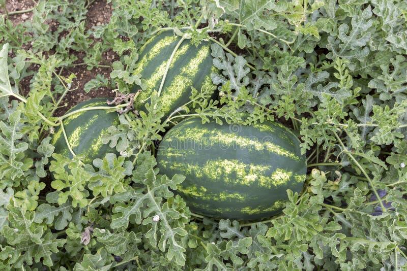 Meloengebied met hopen van rijpe watermeloenen in de zomer stock foto