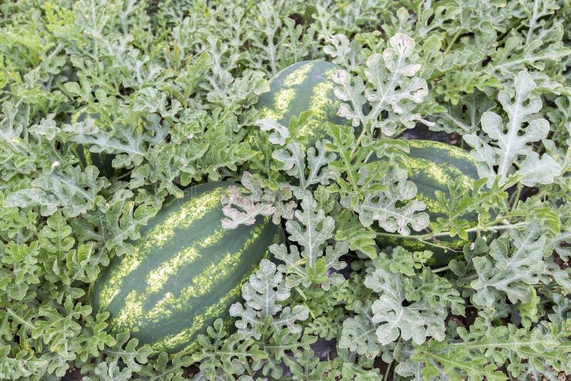Meloengebied met hopen van rijpe watermeloenen in de zomer stock afbeeldingen