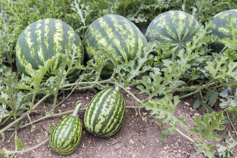 Meloengebied met hopen van rijpe watermeloenen in de zomer royalty-vrije stock afbeelding