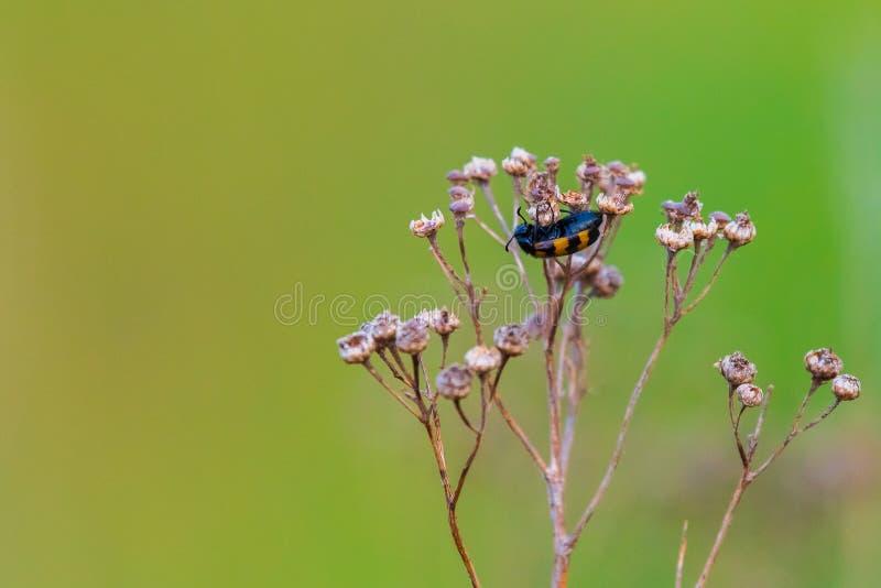 Meloidae del coleóptero o mosca de España fotografía de archivo libre de regalías