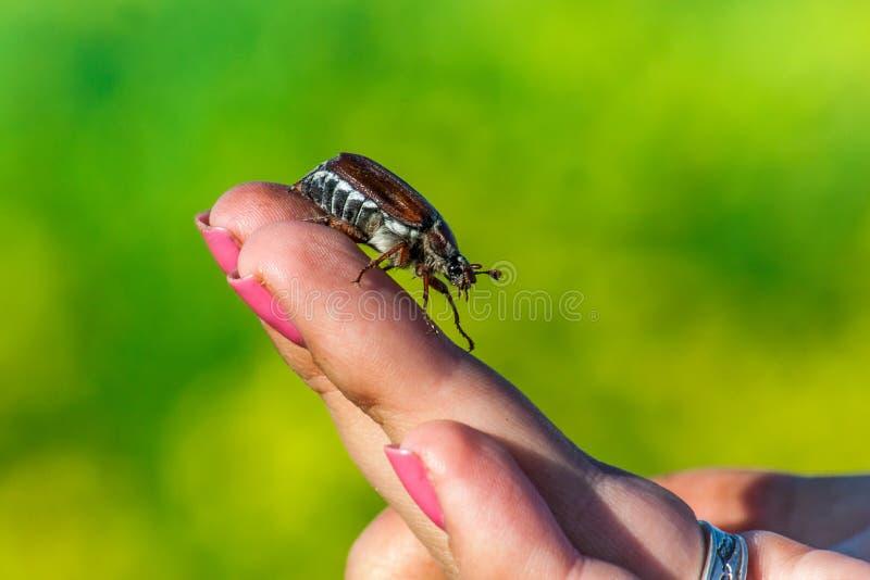 Melolontha commun de Melolontha de hanneton solsticial, connu sous le nom d'insecte de mai ou images stock
