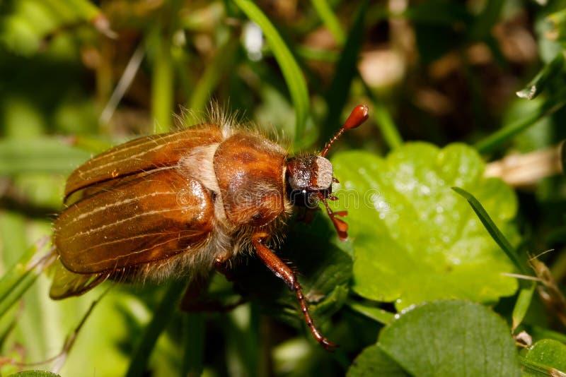 Melolontha comum do Melolontha do besouro europeu imagens de stock royalty free