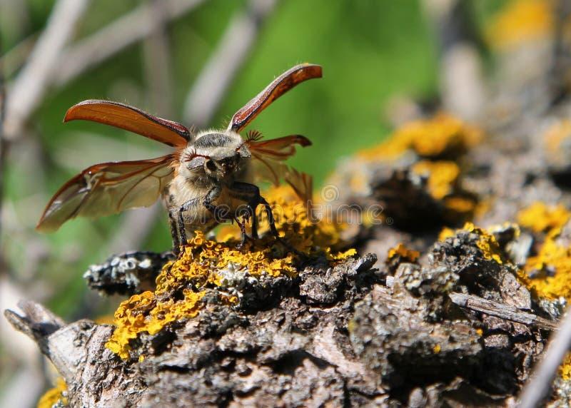 Melolontha do Melolontha do besouro europeu que vai voar fotografia de stock