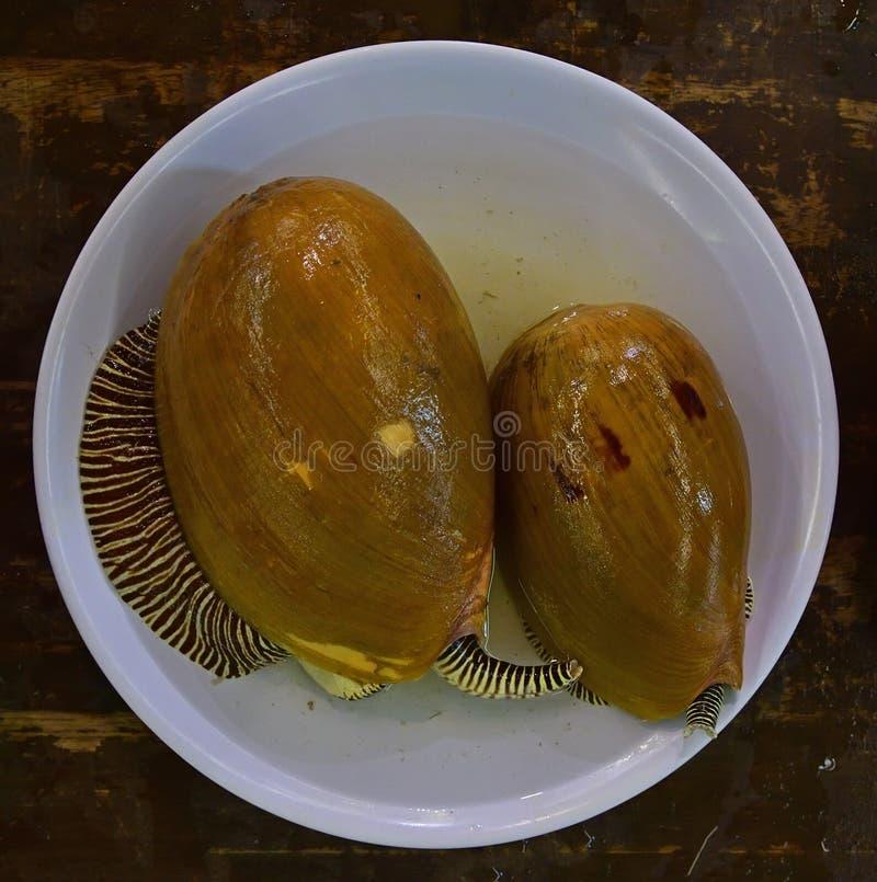 Melomelo is een zeer grote overzeese slak met gemeenschappelijke naam als Indische volute of bailer shell stock foto
