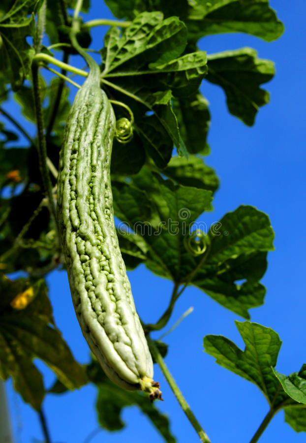 Melon amer image stock