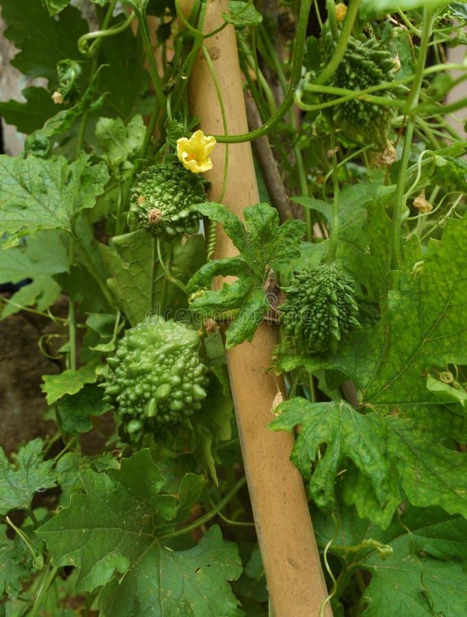 Melon amer ou courge amère couverte de beaucoup feuille dans un domaine photo libre de droits