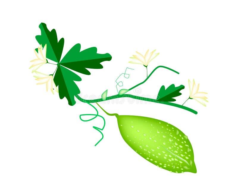 Melon amer vert frais sur le fond blanc illustration stock