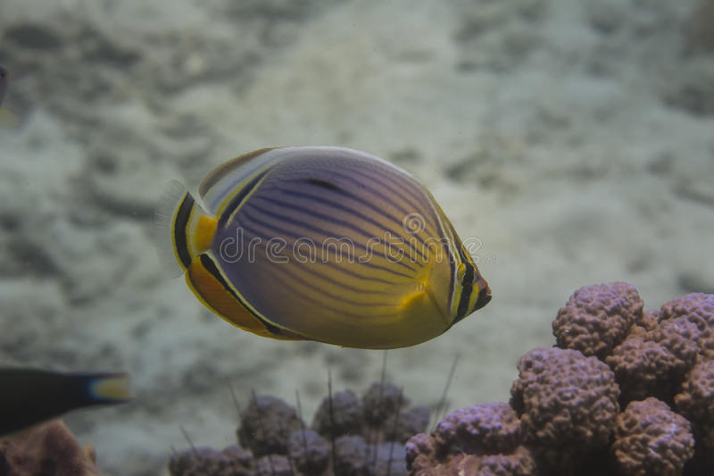 Melon butterflyfish (Chaetodon trifasciatus). At Lipe island in Thailand royalty free stock photography