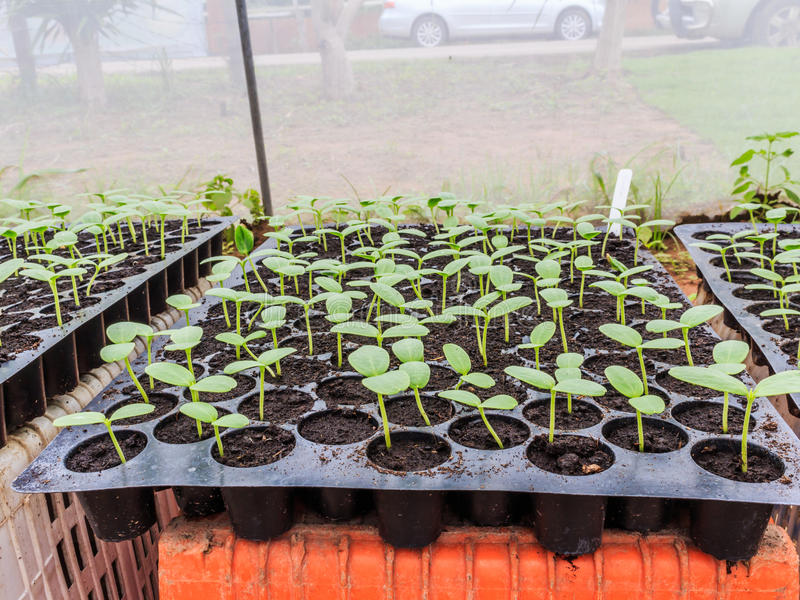 Melon, concombre ou jeune plante de cucumbid dans la cosse ou le plateau de plastique photographie stock