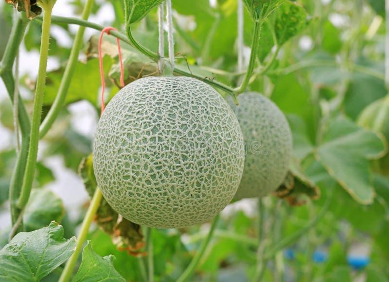 melon de cantaloup dans la ferme de serre chaude photos stock