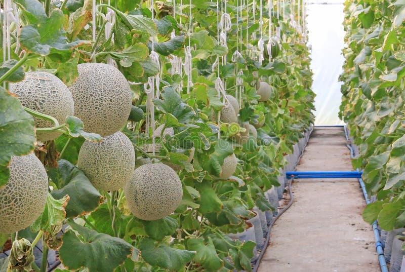 melon de cantaloup dans la ferme de serre chaude photo libre de droits