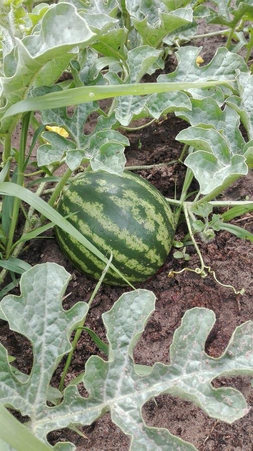 Melon de pastèque photo stock