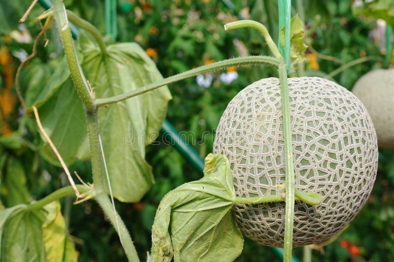 Melon de roche photo libre de droits