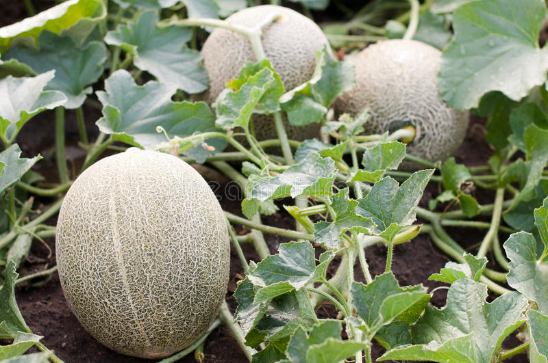 Download Melon In The Garden Stock Photo - Image: 25974660