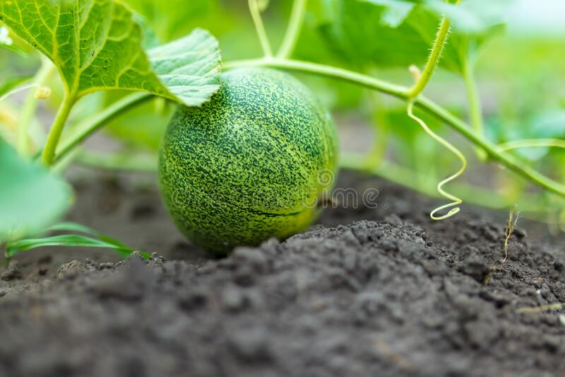 Melon grows on the ground. Nature in the garden royalty free stock photography