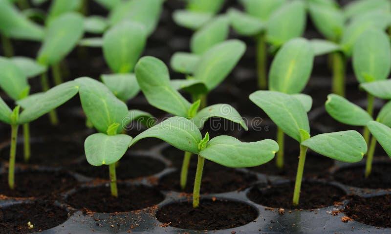 Melon, plante de concombre dans la cosse ou plateau de plastique. photographie stock