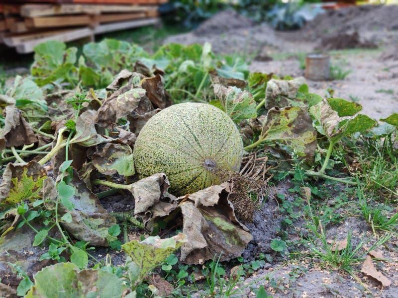 Melon, słońce i upał, zdjęcie stock