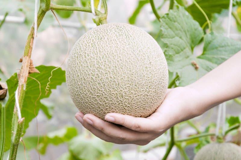 Melon w ręce, kantalupów melony r w szklarni wspierającej smyczkowymi melonowymi sieciami zdjęcia stock