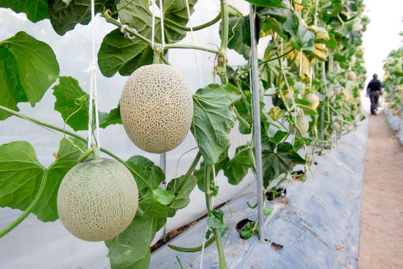 Melon w szklarni zdjęcie royalty free