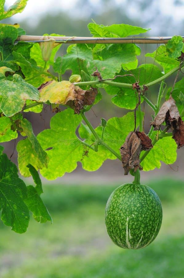 Melone della rugiada del miele fotografia stock