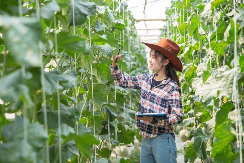Melone di controllo dell'agricoltore sull'albero Concetti della vita sostenibile, lavoro all'aperto, contatto con la natura, fotografia stock libera da diritti