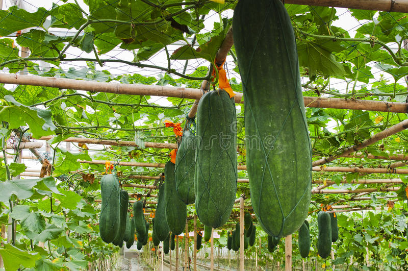 Melone di inverno fotografie stock