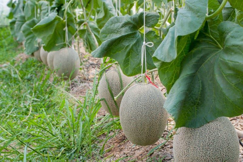 Melone di verde del Giappone in serra fotografia stock