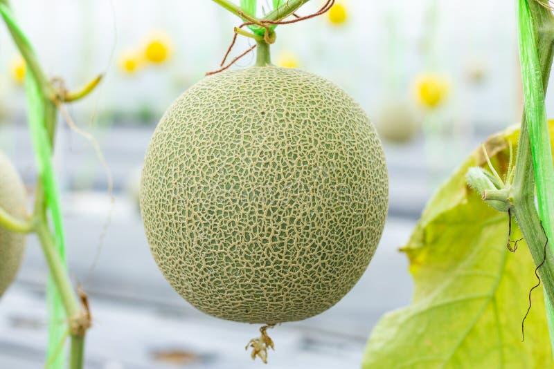 Melone, die im Gewächshausbauernhof wächst lizenzfreies stockbild