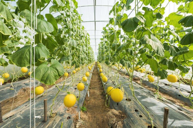 Melone, die im Gewächshausbauernhof wächst stockfotos