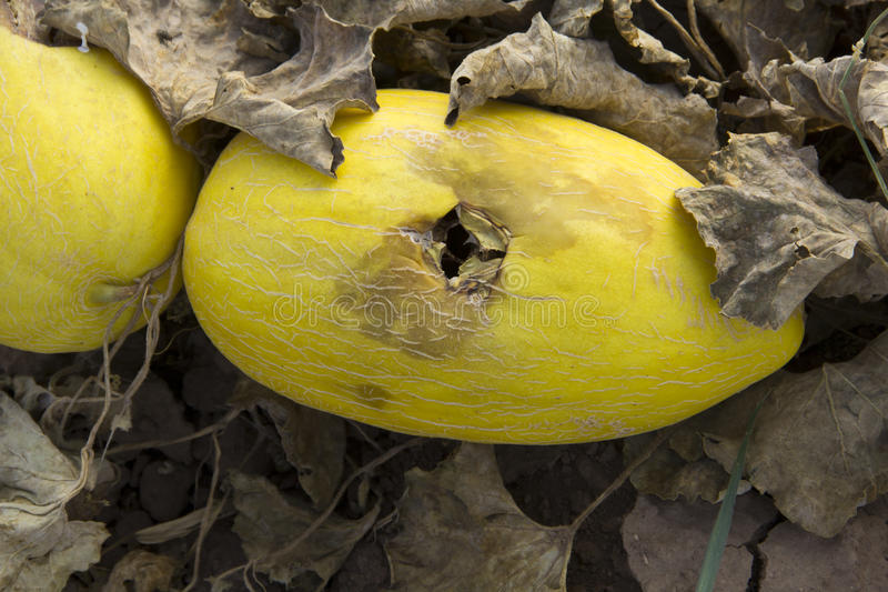 Melone marcio immagini stock