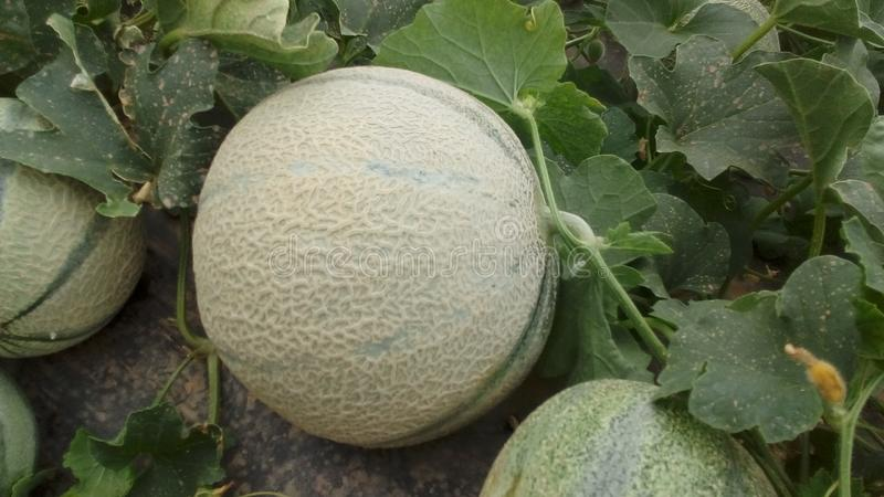 Melone in Marrakesch stockbilder
