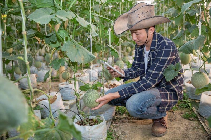 Melonen im Garten, Yong-Mannholdingmelone im Gewächshausmelonenbauernhof lizenzfreie stockfotografie