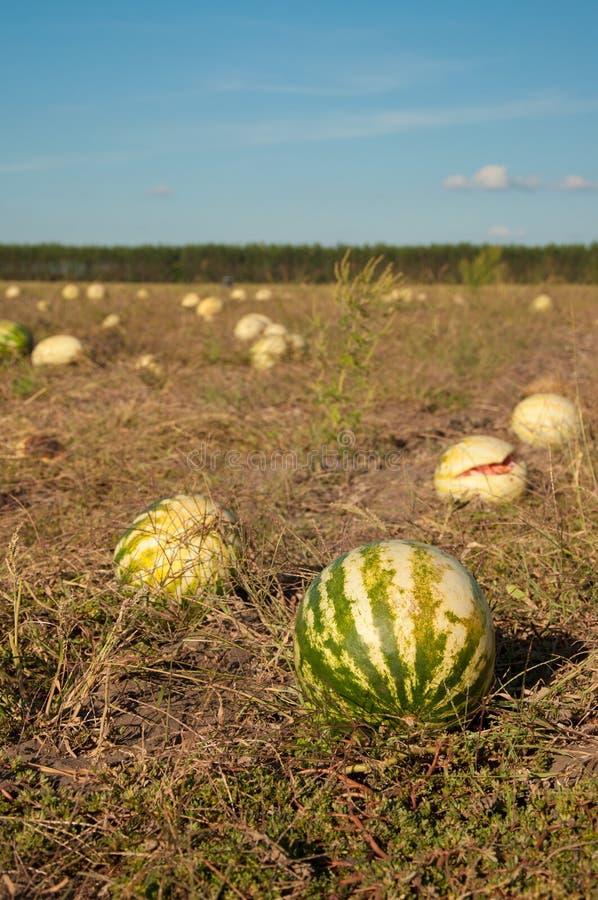 Melonenfeld lizenzfreie stockbilder