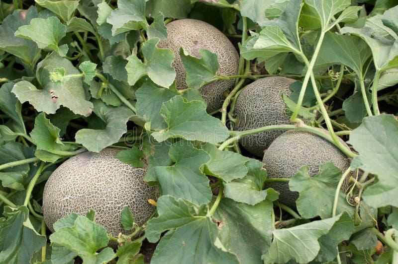 Melones en el jardín imagen de archivo