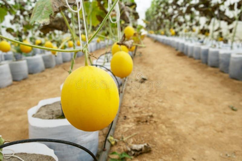 Melones en la granja del invernadero Brote joven de los melones que crecen en las plantas del invernadero, del amarillo, de los m imagen de archivo