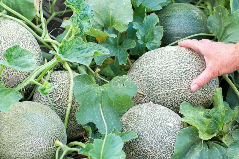 Melonfrukter och del av växten arkivfoton