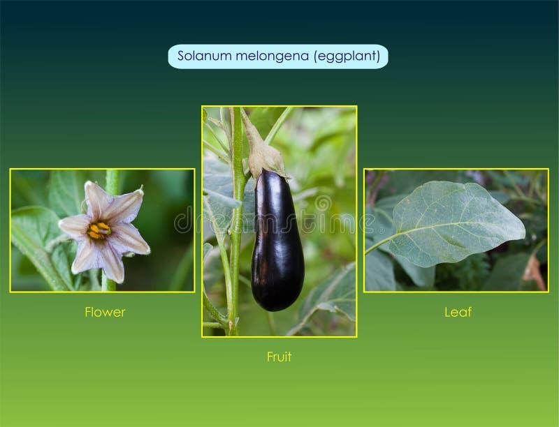 Melongena van de auberginenachtschade royalty-vrije stock foto