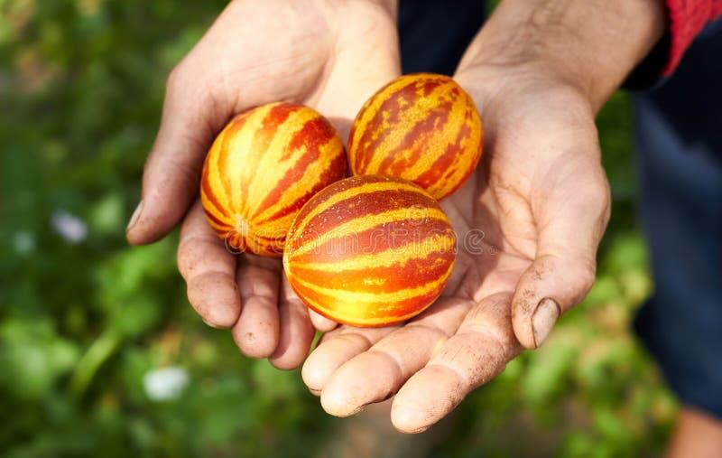 Meloni vietnamiti sulle mani della donna lavoratrice immagini stock