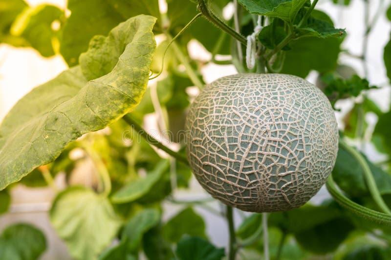 Melonobst mit Blättern im Betrieb lizenzfreie stockfotos