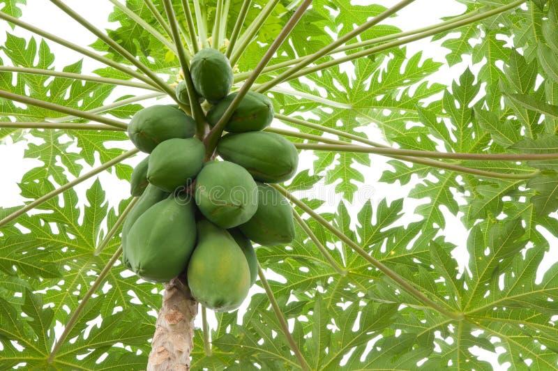 melonowa drzewo fotografia stock