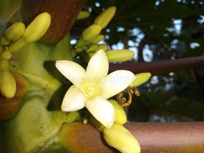 Melonowa kwiat obraz royalty free