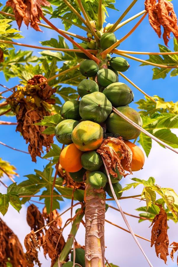 Melonowiec na drzewku palmowym fotografia royalty free