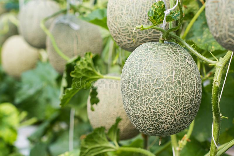 , Melonowy dorośnięcie w gospodarstwie rolnym zdjęcie stock